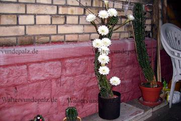exotische pflanzen in den g rten der pfalz walter vun de palz. Black Bedroom Furniture Sets. Home Design Ideas